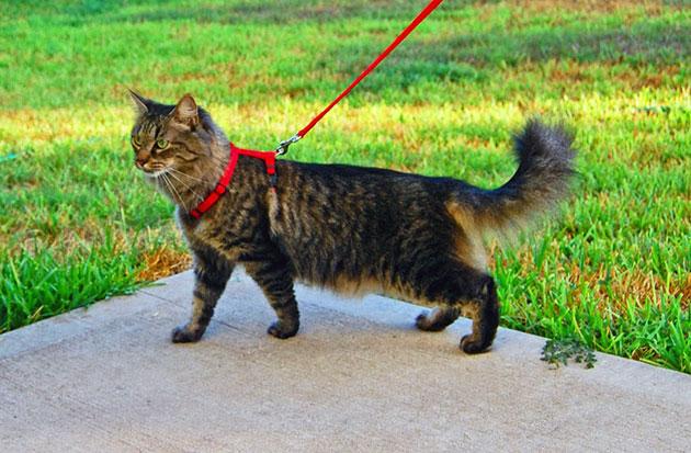 Прежде чем выгуливать кошку на поводке необходимо, что бы она к нему привыкла