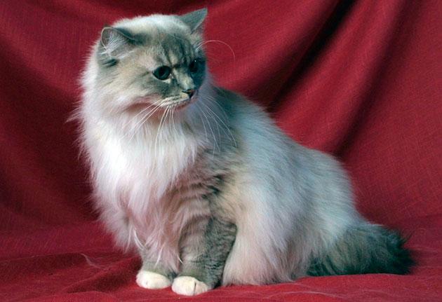 Рагамаффины очень спокойные кошки и хорошо поддаются обучению