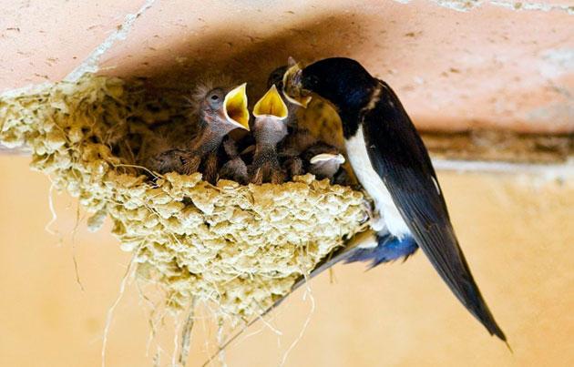 Пока ласточка присматривает за птенцами, вопросами пропитания занимается самец