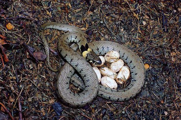 Яйцеживородящие змеи перед рождением своих деток ищут самое незаметное и защищенное место