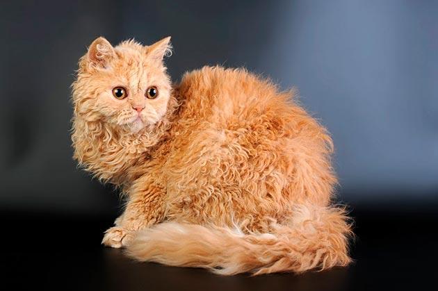 Породы кошек: Селкирк-рекс