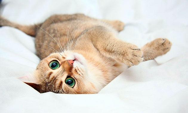 Беременная кошка сонлива, она отказывается от твердой пиши