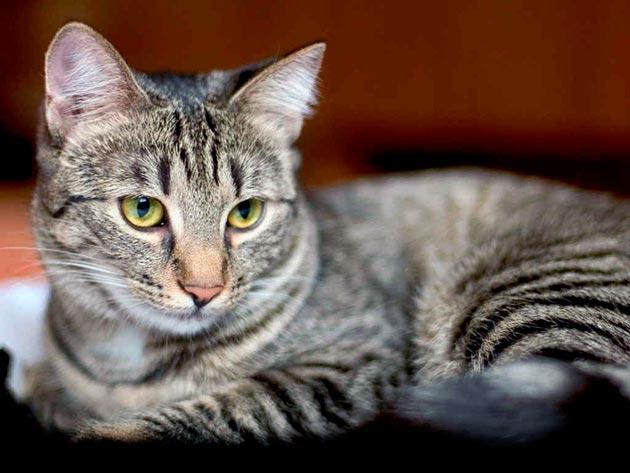 Яркими признаками цистита у кошки являются - частое и болезненное мочеиспускание