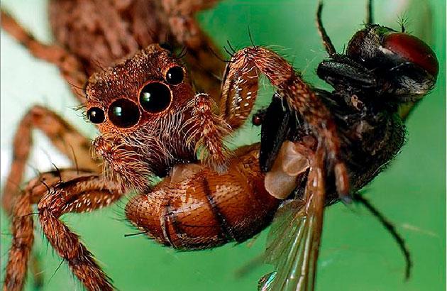 Как правило взрослый паук питается 1 раз в 7-10 дней, а особи помоложе нужно кормить каждую неделю