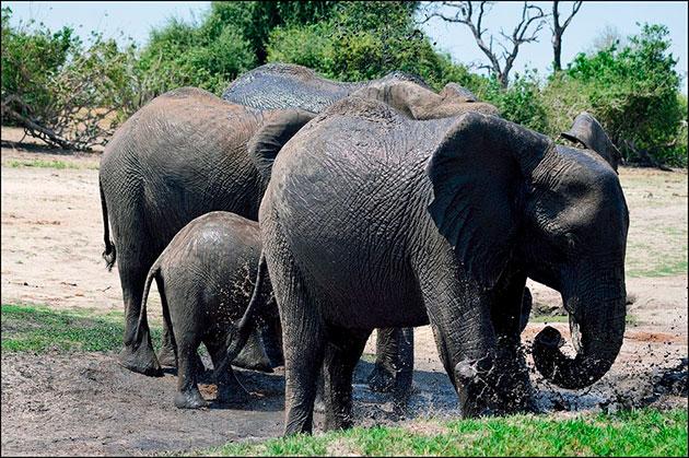 Слонам ежедневно требуется более ста литров воды