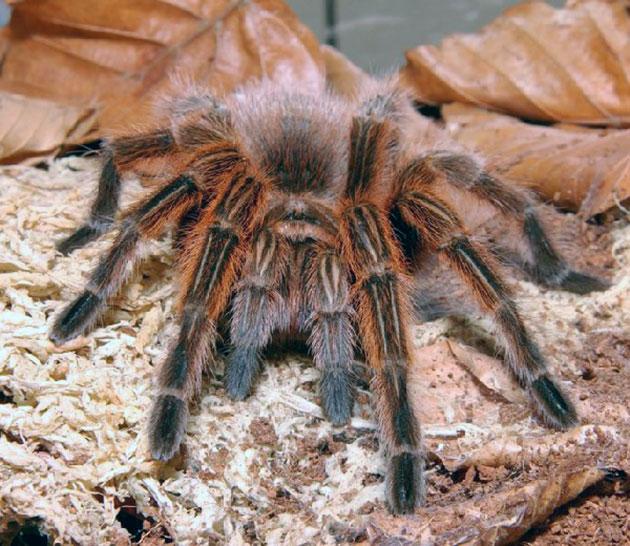 Средняя продолжительность жизни паука-птицееда составляет 10 лет, но зарегистрированы случаи долгожительства, доходящие до 25 лет