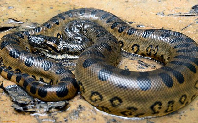 К рекордсменам по долгожительству среди змей относятся анаконды, которые могут жить до трех десятков лет