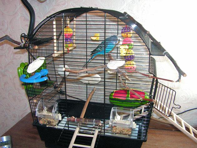 Расходы на содержание попугая сильно зависит от его размеров и качеством кормов, которым вы будете его кормить
