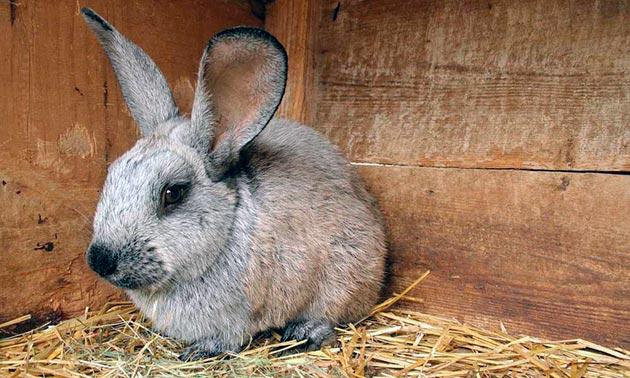 При стригущем лишае у кролика на месте поражения выпадает шерсть, образуется корка и нагноения