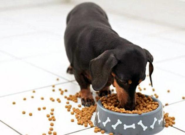 Малышей такс кормят чаще, но более маленькими порциями и с взрослением это отношение меняется