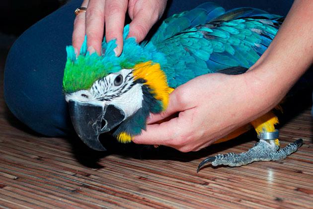 Попугаи достаточно чистоплотны, а вот за клеткой нужно будет следить и регулярно чистить