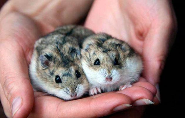 Внутреннее убранство клетки необходимо обустроить всем необходимым для джунгарским хомячков