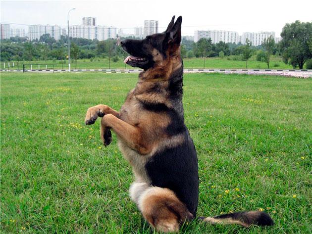 В первую очередь немецкую овчарку необходимо учить базовым командам - лежать, сидеть, стоять, ко мне