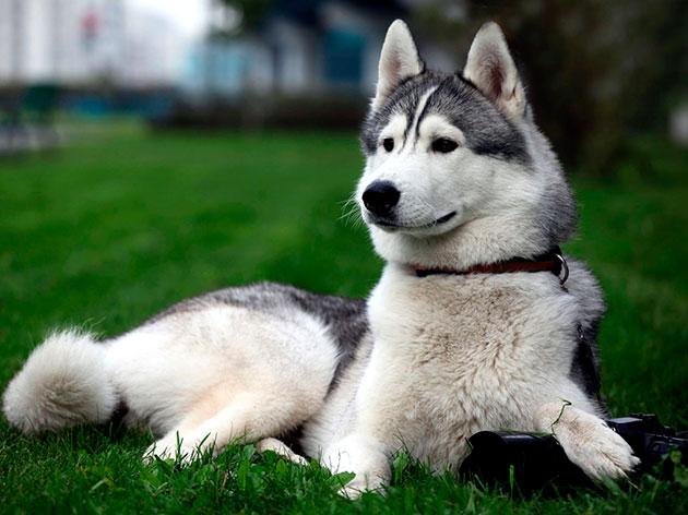 Породы собак: Восточно-сибирская лайка