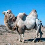 Зачем верблюду горб