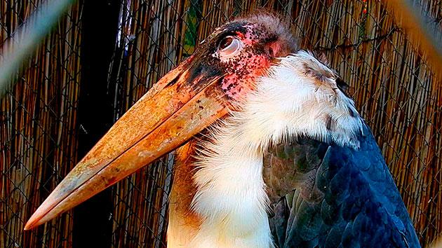 Африканский марабу (Lерtорtilоs сrumеnifеrus)