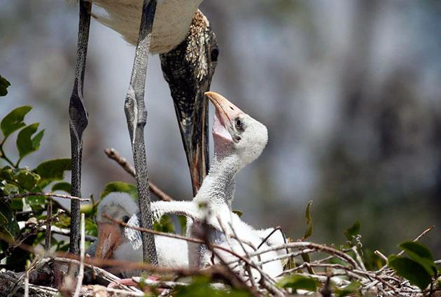 Американский клювач стоит гнездо на ветвях деревьев вблизи воды
