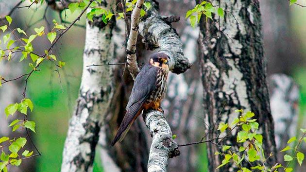 Чеглок выбирает для проживания леса с просторными местами для охоты