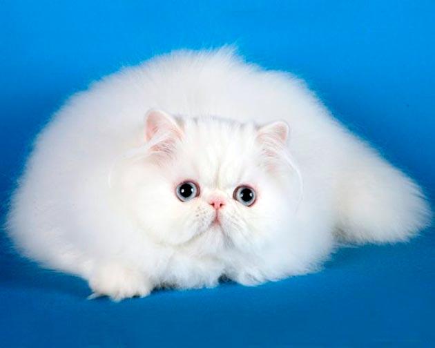Породы кошек с голубыми глазами - Белые персидские кошки