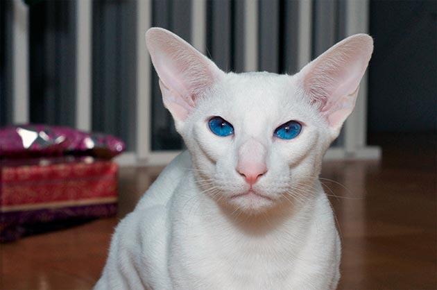 Породы кошек с голубыми глазами - Белый ориентал Форинвайт