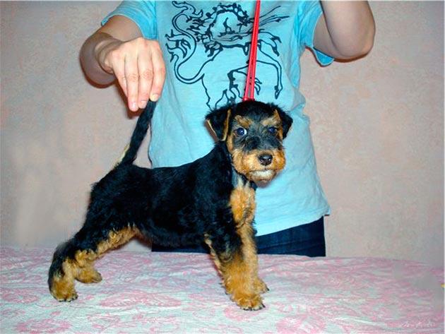 Стоимость породистого щенка вельштерьера начинается от 25000-30000 рублей