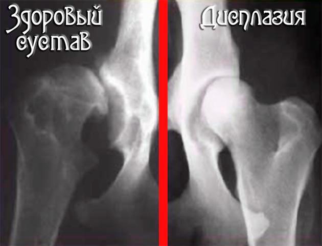 Изображение - Признаки дисплазии тазобедренных суставов у щенка displaziya-sustavov-u-sobak