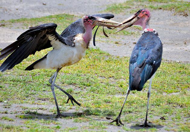 У африканский марабу можно считать нет врагов, ранее их истребляли люди, но сейчас эти птицы находятся под охраной