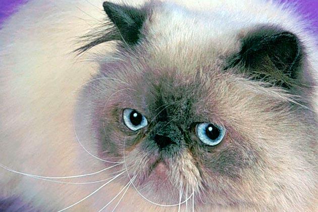 Кошки с голубыми глазами - Гималайские кошки