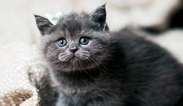Породы кошек с голубыми глазами - Голубые британские кошки