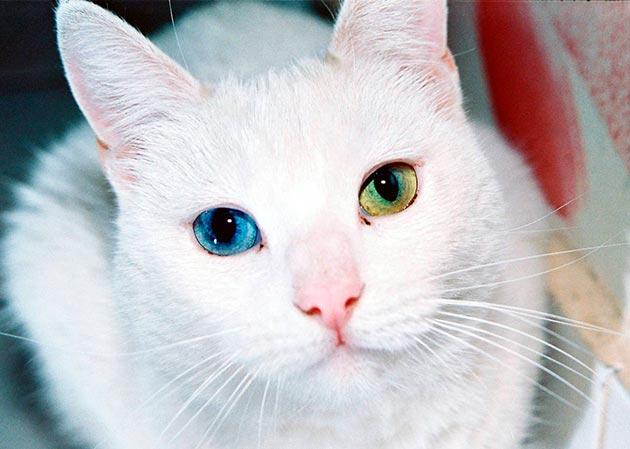 Кошки с голубыми глазами - Као Мани
