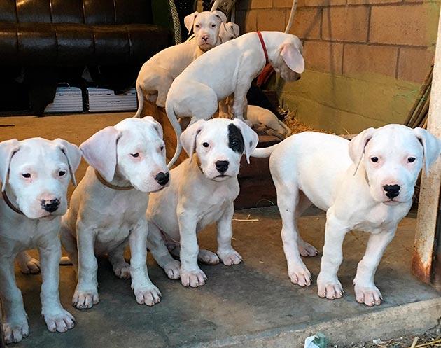 При покупке щенков аргентинского дога необходимо осмотреть их внешний вид и посмотреть насколько они активны