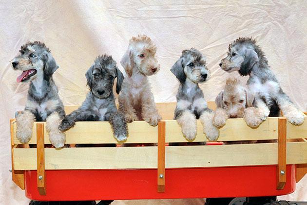 При покупке щенка бедлингтон терьера необходимо внимательно изучить информацию о родителях