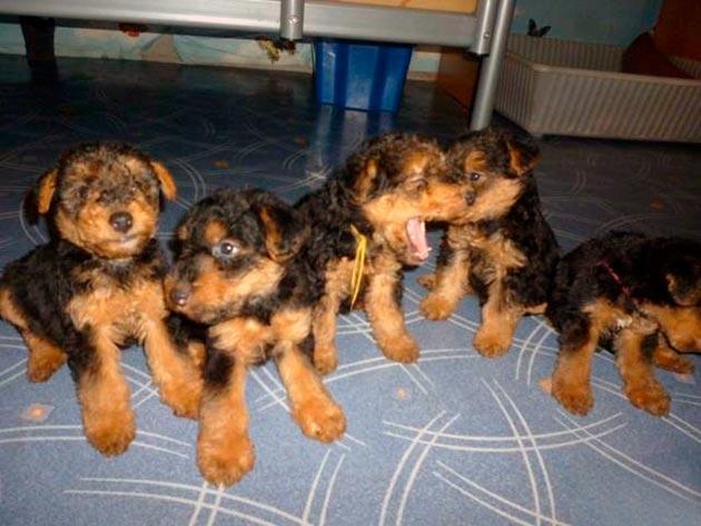 При покупке щенка вельштерьер необходимо ознакомиться с его родителями и изучить родословную