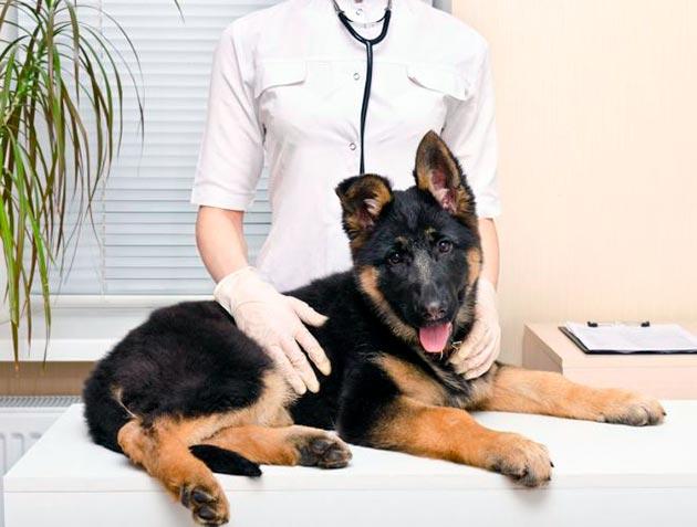 Дисплазию можно вылечить как у щенка, так и у взрослой собаки