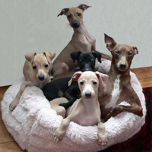 Левретки короткошерстные собаки, а значит беззащитны против холода, помните этот факт