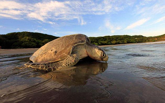 Ридлия обитает как на просторах океана, так и вблизи его берегов