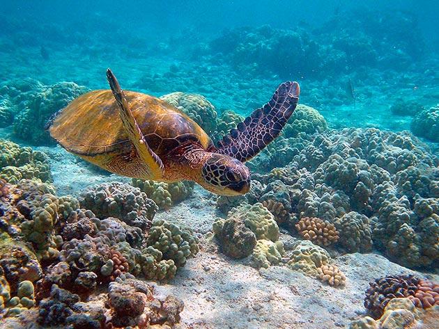 Домом для зеленых черепах являются атлантический, тихий океаны и воды тропиков и субтропиков