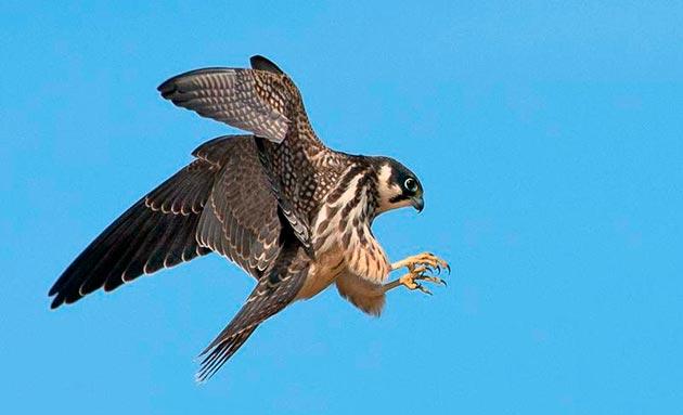 Сокол чеглок очень беспокойная птица и постоянно находится в движение, охраняя свои угодья
