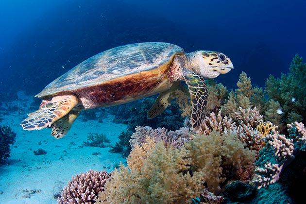 Зеленых черепахи очень доверчивы и поэтому держаться близ берега, часто выбираясь на берег