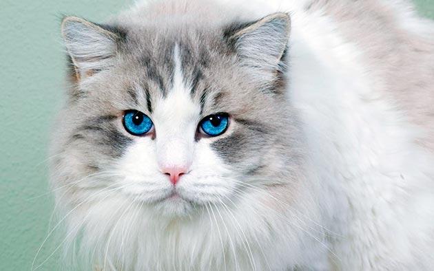 Кошки с голубыми глазами - Охос Азулес