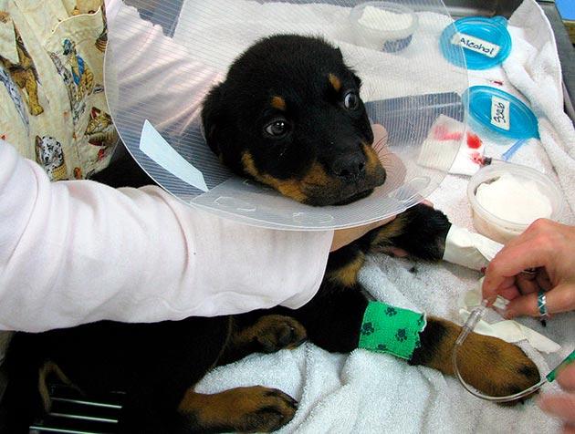 Парвовирусный энтерит очень опасен для щенков, смертность достигает 80%