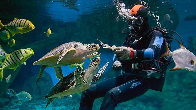 Логгерхеды всеядны и могут питаться как водорослями, так и мелкой рыбой, ракообразными и кальмарами