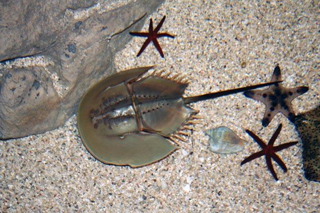 Мечехвосты всеядны, они могу полакомиться и водорослями, так и кольчатыми червями, членистоногими