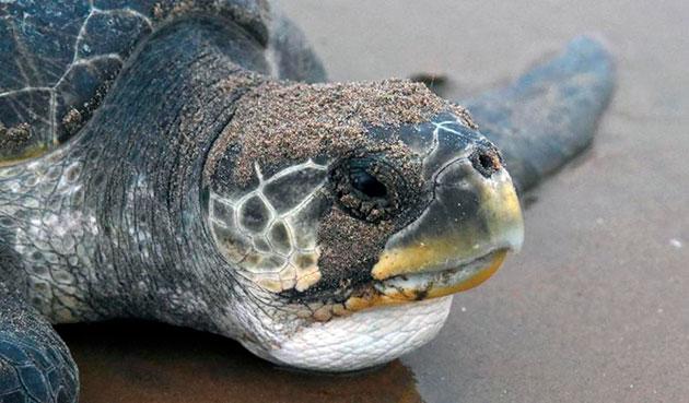 Численность оливковой черепахи небольшая и поэтому она занесена в красную книгу