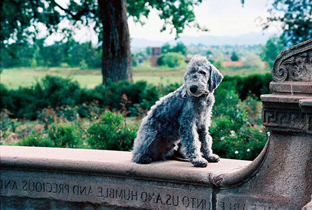 Породы собак: Бедлингтон-терьер