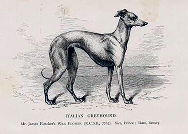 Породы собак: Левретка