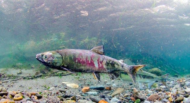 Принята считаться, что рыба кета в среднем живет 6-7 лет, а долгожитель доживали до 10 лет