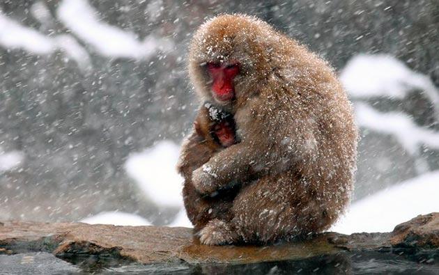 Средняя продолжительность жизни японской макаки в дикой природе 28-30 лет