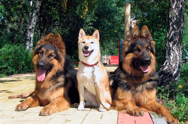 Активные прогулки собаки лучший метод профилактики дисплазии