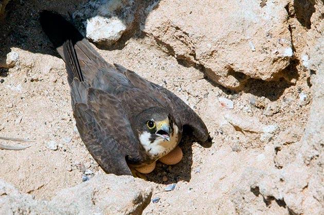 Самка чеглока откладывает от 2 до 6 яиц и высиживает их около месяца